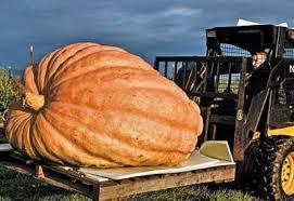 Atlantic Giant Pumpkin Taste by How To Grow Monster Pumpkins Gardens Plants And Garden Ideas
