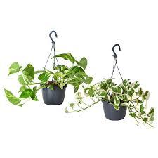 epipremnum elpflanze efeutute versch arten 15 cm