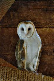 1861 Best Barn Owls, Snowy Owls, & Saw Whets Images On Pinterest ... 55 Best Owl Images On Pinterest Barn Owls Children And Hunting Owls How To Feed Keep An Owlet Maya A Brief Introduction The Common Types Of Six Reasons Why You Dont Want An Owl As Pet Bird Introducing Gizmo Baby Whitefaced Youtube 2270 Animals 637 Oh Meine Uhus I Love Owls My Barn Cat Baby By Disneyqueen1 Deviantart All Things Nighttime Predator Cute Animals