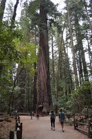 Santa Cruz Mountains Christmas Tree Farms by Henry Cowell Redwoods Sp