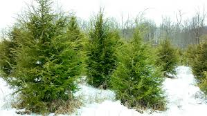 Wadsworth Ohio Christmas Tree Farm by Smith Evergreen Tree Farm And Nursery