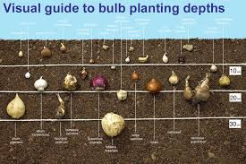 guide to planting depths of bulbs meuwen