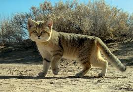 mountain cat ferris jabr on some of the domestic cat s probable