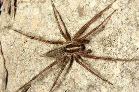 Spiders – North American Insects & Spiders Spiders At Spiderzrule The Best Site In World About Spiders Barn Funnel Weaver Spider North American Insects Bug Eric Thinlegged Wolf Genus Pardosa Grass How To Tell If A Spider Is Not Brown Recluse Spiderbytes