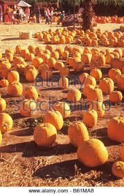 Pumpkin Patch Massachusetts by Halloween Pumpkin Patch Lane Farms Santa Barbara California Stock