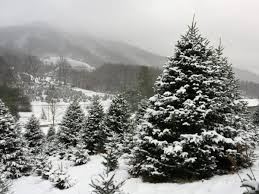 Cartner Christmas Tree Farm by Harvest Your Own Live Christmas Tree This Year Our 14 Picks For