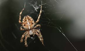 7 Methods That Keep Spiders Out Of The Basement R2rustys Chatter September 2017 Ladybugs Backyard And Beyond Birdingand Nature Golden Silk Orb Weaver Spider In Bug Eric Sunday Black Yellow Argiope Glass Beetle By Falk Bauer A Backyard Naturalistinsects Ghost Spiders Family Anyphnidae Spidersrule C2c_wiki_silvgarnspider_hrw8q0m1465244105jpg Aurantia Wikipedia Two Views Sonoran Images Elephant Tiger Skin Spiny Blackandyellow Garden Mdc Discover Power Animal For October Shaman Amy Katz