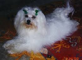 Dogs That Shed Very Little by Five Great Dog Breeds That Don U0027t Shed Much Pethelpful