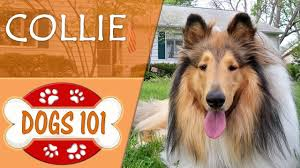 Dogs 101 - COLLIE - Top Dog Facts About The COLLIE - YouTube Backyards Excellent 9 Burkes Backyard Pets Amazing Pet Rare Woolly Dog Hair Found In Northwest Blanket Q13 Fox News Agility With Australian Cattle Youtube Welsh Springer Spaniel Wikipedia How To Stop Dogs From Pooping On Your Front Lawn Dog Do It Yourself Diy Set Hurdles Jumps Gardener And Tv Personality Don Burke 3 Masters Sequences Annotated Bordoodle Pinterest Breeds Pechinez Awesome 25 Best Ideas About Outdoor Kennels On