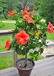 best 25 hibiscus tree ideas on of tree