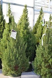 Best Live Christmas Trees For Allergies by Cut Trees U0026 Greenery U2014 Southwood Landscape U0026 Garden Center