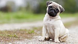 Do Hypoallergenic Dogs Still Shed by Best Hypoallergenic Dogs For People With Allergies