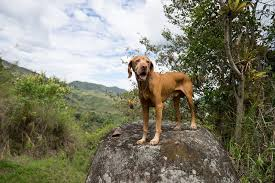 Vizsla Dog Breed Shedding by Vizsla Breed Information Characteristics U0026 Heath Problems