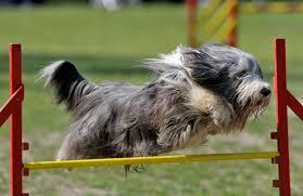 saltos para cães