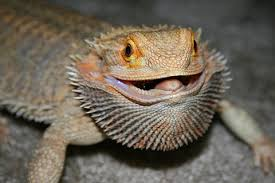 Bearded Dragon Shedding A Lot by Bearded Dragon Care Guide Dragon Rancher