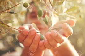 Farmer Is Harvesting And Picking Olives Olive Farm Gardener