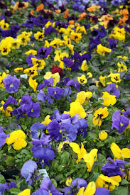 now is the time to plant cold tolerant annuals bulbs