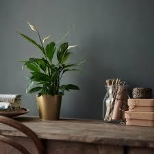 spathiphyllum pflanze einblatt 12 cm