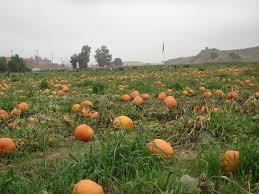Rileys Pumpkin Patch Oak Glen california childrens u0027 concierge roundup of u pick u0027em pumpkin patches