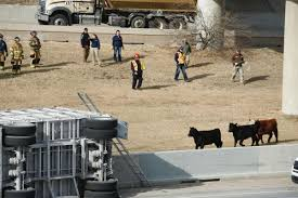 Steers Rounded Up, Some Euthanized, After Cattle Truck Overturns On ...