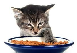 cat wont eat cat won t eat most common causes and things to try pet territory
