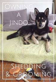 Dogs That Dont Shed Bad by How To Groom A Shedding Jindo Dog A Guide For Double Coated Dogs