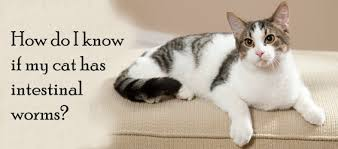 signs of worms in cats how do i if my cat has intestinal worms