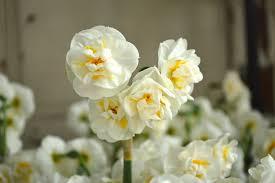 daffodil bridal crown dutchgrown