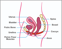 Hypertonic Pelvic Floor Muscles by Pelvic Floor Archives Pram Fitness