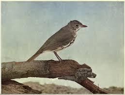OVEN BIRD 4 5 Life Size Copyright By Nature Study Pub Co 1898 Chicago