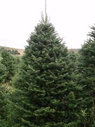 Fraser Christmas Trees Uk by Why Buy A Real Tree Scottish Christmas Trees