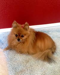 List Of Dogs That Shed A Lot by 10 Cool Facts About Pomeranians Pommy Mommy