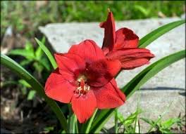 tips for planting flower bulbs outdoors after winter forcing