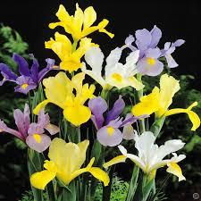 iris hollandica mix 10 flower bulbs buy order now