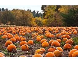 Boyd Tx Pumpkin Patch by Kinder Pumpkin Patch Field Trip Voly Org