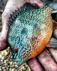 Pumpkin Seed Sunfish Pictures by Long Ear Sunfish Caught On The Creek In Tennessee These Fish Are