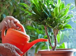 yucca palme gießen so geht s richtig mein schöner garten
