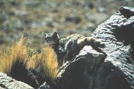 mountain cat andean mountain cat facts big cat rescue