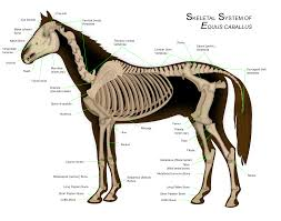 Horse - Wikipedia Wall Decal Lion Mane Wild Cat Beast Predator Animal King Vinyl Retro And Rusty Oh And Me Photo Stuff To Buy Pinterest Circus Mania May 2014 Suicide Is Painless Hepatitus Used Car Parts Mcton Youtube The Parts Of A Horse Sema 2016 Killer Builds 2_1759_58247161348608762_ojpg 20481536 Manes Truck Home Facebook Fence Barnstorming Carr Day Martin Canter Tail Cditioner 1 Litre