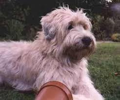 soft coated wheaten terrier meetin some wheatens pinterest