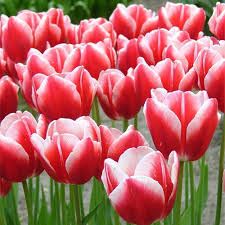 buy tulip leen der 25 bulbs or buy in bulk winter bulbs