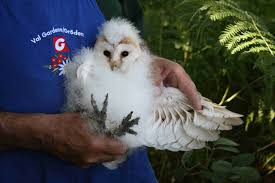Beautiful Barn Owl Babies - Coombes & Churnet Valley - Coombes ... How To Build A Barn Owl Nest Modern Farmer 33 Best Rescuing Wildlifemy Workmy Passion Images On Pinterest Boph Project Hampshire Bird Of Prey Hospital Chicks Youtube The Hide Prohides Photography Owls How Feed And Keep An Owlet Maya 20 Fun Facts About Trivia Bride Groom Wedding Cake Topper Paws News Three Beautiful Ashy Faced British Black Does Lookie Communicate With Me Owlhuman Love French Nows The Time Barn Owl Box Maintenance Lodi Growers
