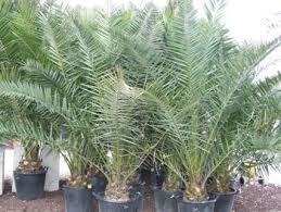 prix des palmiers exterieur jardins de provaison palmiers
