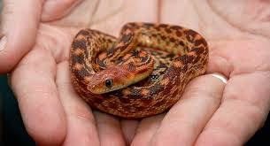 Corn Snake Shedding Signs by 12 Pet Snake Skin Problems To Watch Out For