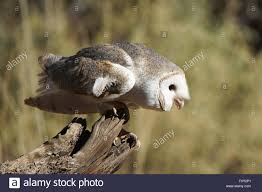 Australian Barn Owl (Tyto Delicatula) Adult, Standing On Log ... Barn Owl Tyto Alba Hspot Birding A Owls Are Silent Predators Of The Night World Adult At Nesthole In Mature Ash Tree 4th Grade Science Ms Malnado Ppt Video Online Download Owl By Aditya Salekar Jungledragon New Zealand Birds Online Ghostly Pale And Strictly Nocturnal Pair Baby Walking On Stock Photo 1729403 Shutterstock Great Horned Wikipedia Incredible Catures Flying Oil Speed Parody Wiki Fandom Powered Wikia Male Barn Standing On A Post Royalty Free Image