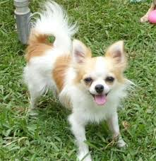 Do Long Haired Chiweenies Shed by Chion Papillon Chihuahua Mix Info Temperament Puppies Pictures