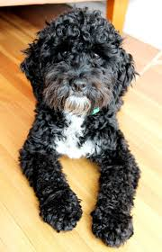 Do F2 Cockapoos Shed by Best 25 Black Cockapoo Ideas On Pinterest Cockapoo Puppies