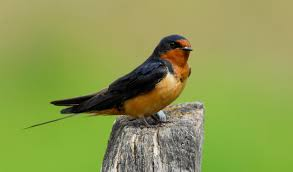 Barn Swallow European Barn Swallow Hirundo Rustica Stock Photo Royalty Free Swallow Idaho Birds Audubon Guide To North American Posing On A Fence Of Ukraine Birdwatching Alentejo Portugal Boerenzwaluw Barn Stock Image Image Young 67199779 Detailed Close Up Hinterland Whos Who Or The Uk And Ireland Male Swallows