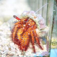 Do Hermit Crabs Shed Their Legs by Spotted Hermit Crab Dardanus Megistos