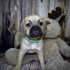 Do Pugs And Puggles Shed by Puggle Puppy